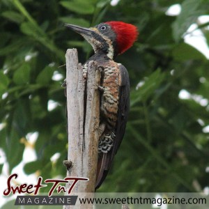 Crimson-crested woodpeckers in San Juan, Trinidad, in sweet T&T for Sweet TnT Magazine, Culturama Publishing Company, for news in Trinidad, in Port of Spain, Trinidad and Tobago, with positive how to photography.