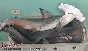Hammerhead Fish in market for Food Fraud article in sweet T&T for Sweet TnT Magazine, Culturama Publishing Company, for news in Trinidad, in Port of Spain, Trinidad and Tobago, with positive how to photography.