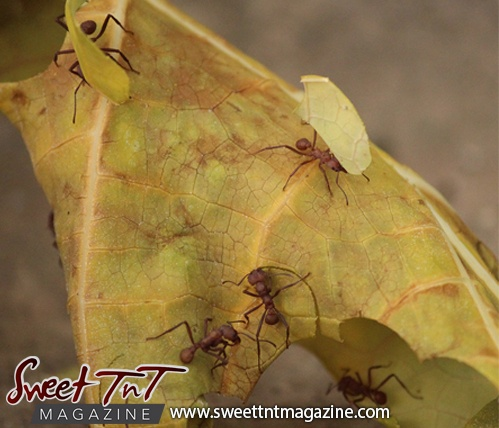Bachac leafcutter ants hardworking farmers in Trinidad and Tobago. Sweet TnT Magazine.