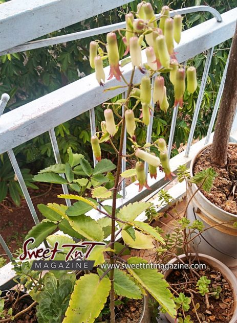 Wonder of the World plant