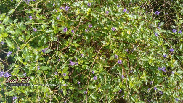 Vervain. 23 uses, benefits, side effects