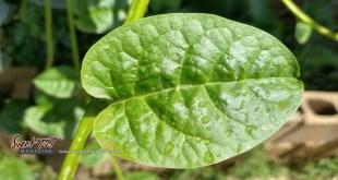 Malabar spinach leaf. Leafy green vegetable.