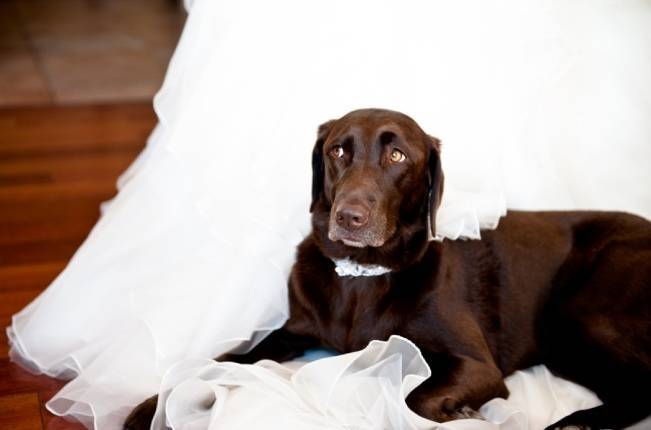 chocolate lab at wedding