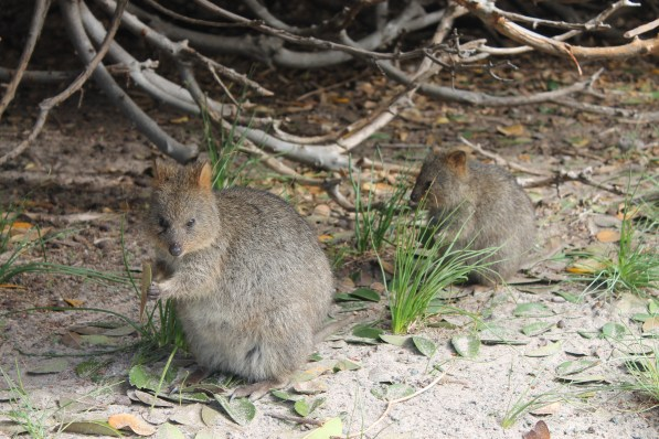 Quokkas eating leaves!