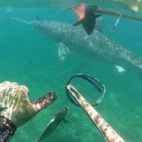 Video: Spearfishing Encounter With A 13ft Tiger Shark