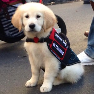 Service Dog in Training 1