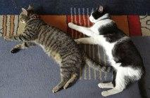 koty śpią