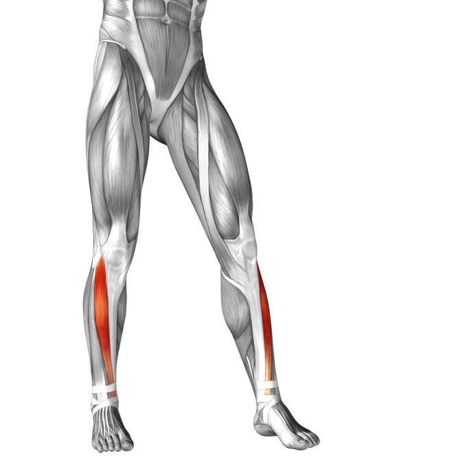 水泳で鍛えられる前脛骨筋