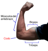 arm-muscles
