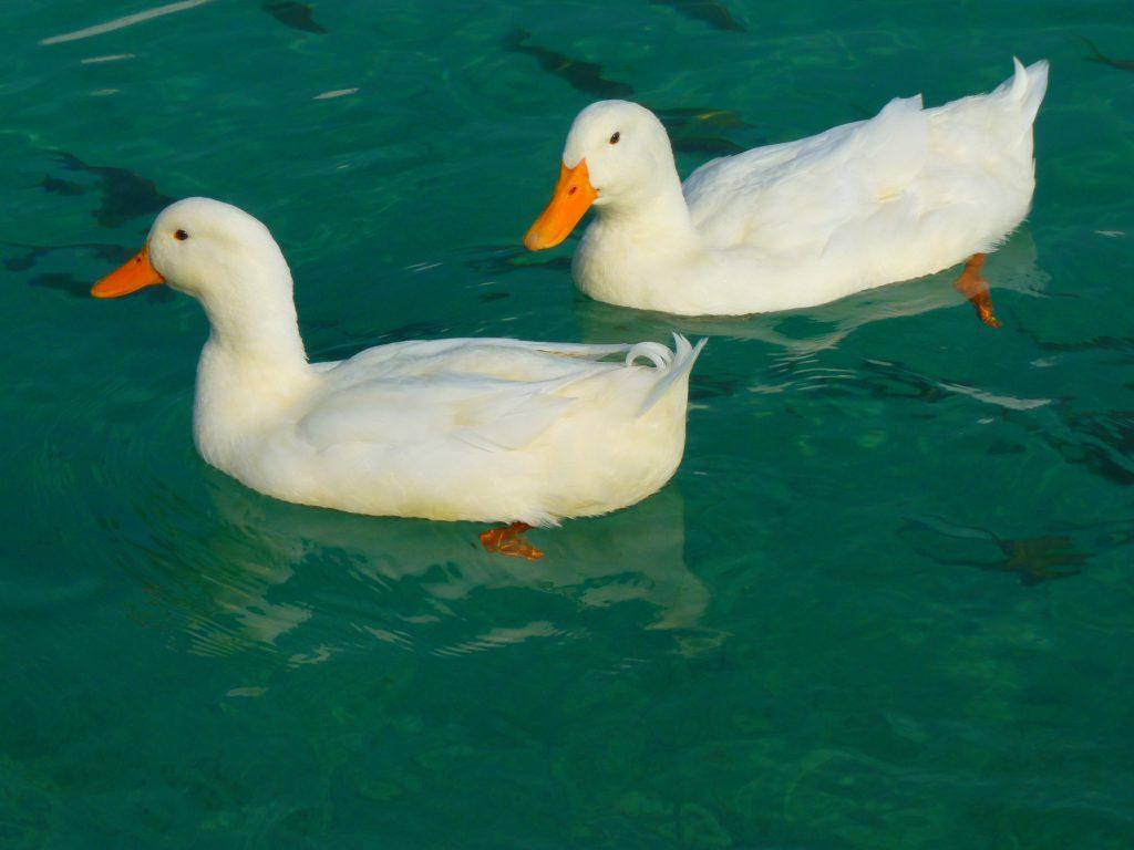 cute-ducks-swimming