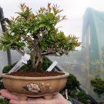 WindyBank Pomegranate