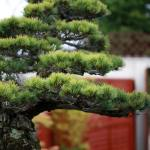 WindyBank White Pine