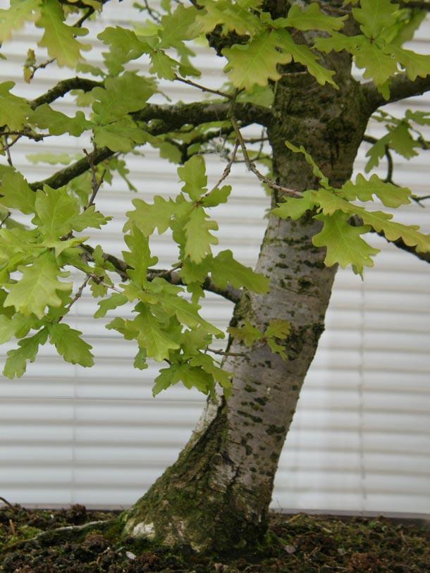 Bonsai English Oak trunk close up