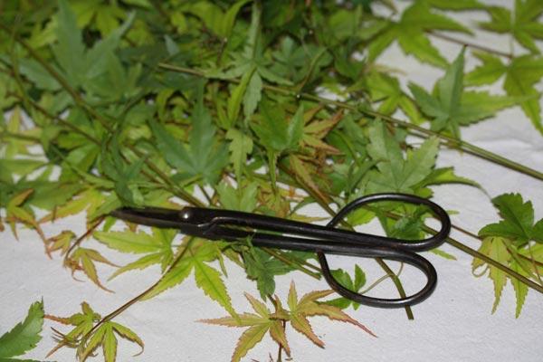 Acer palmatum cuttings