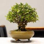 Chinese Elm AW