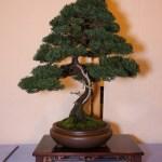 Best Conifer
