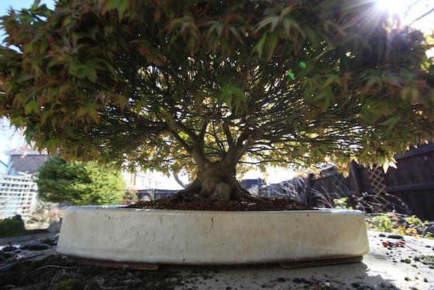 Acer palmatum 'Kiyohime' March 2012 underside view