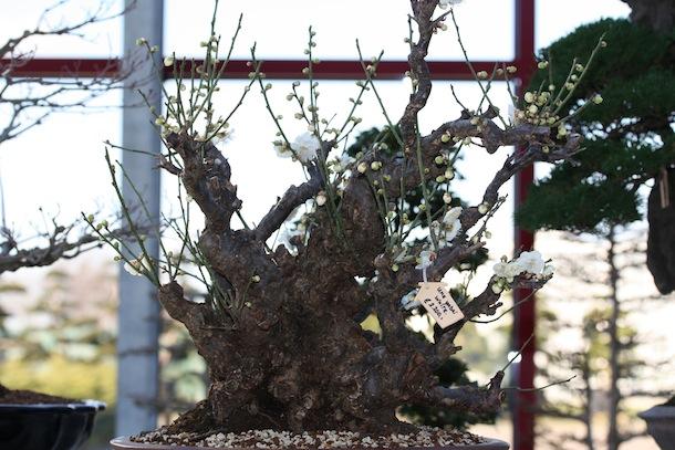 Prunus Mume Japanese Apricot Swindon District Bonsai