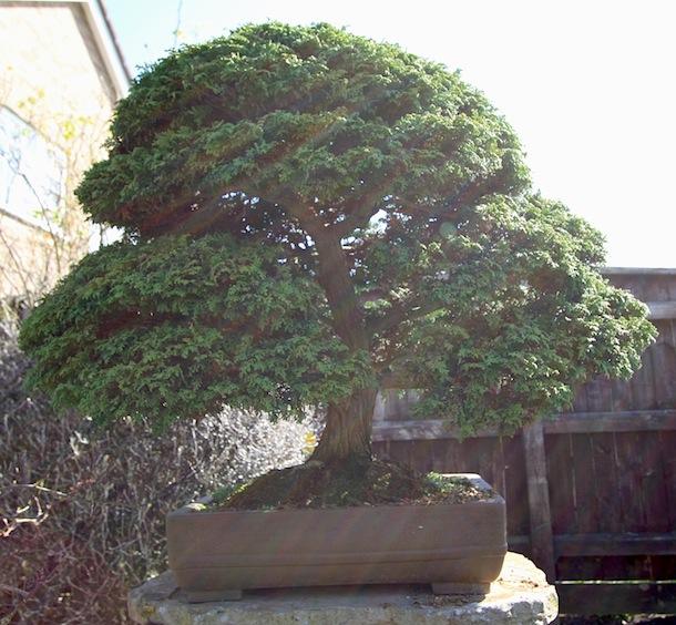 Chamaecyparis Lawsoniana As A Bonsai Swindon District Bonsai