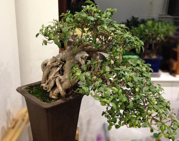 ficus microcarpa ginseng fig or banyan fig swindon district bonsai. Black Bedroom Furniture Sets. Home Design Ideas