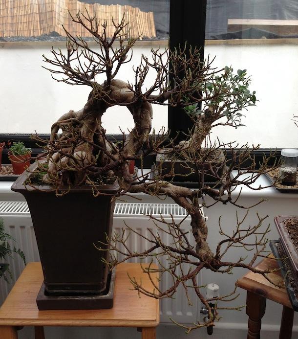 Fig post defoliation