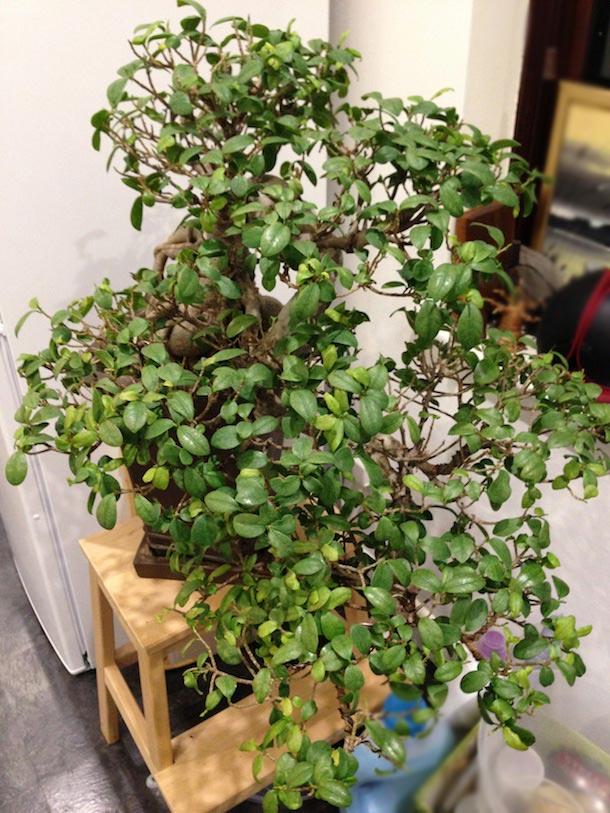 Original canopy pre defoliation of the Fig