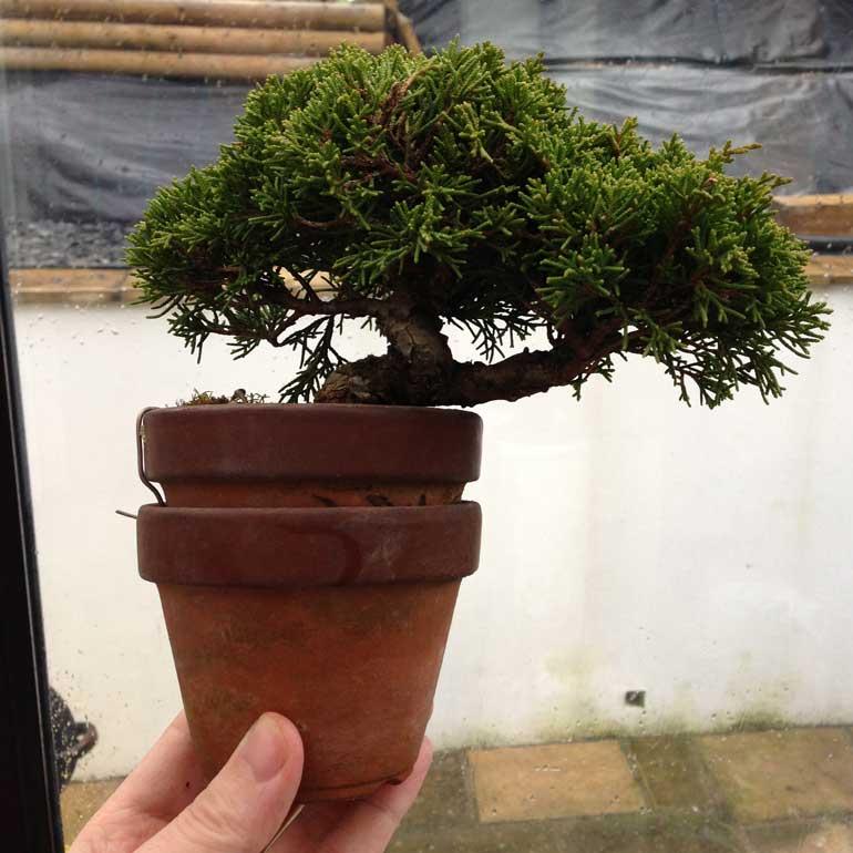 Two pots Juniper