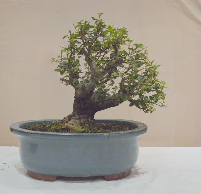 TA Siberian Elm right