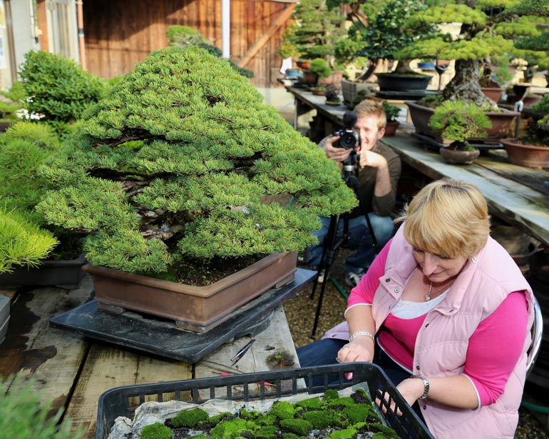 Applying moss to tree for show