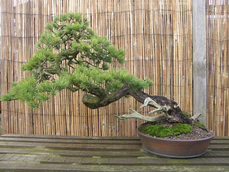 Bonsai Tree Sale Swindon District Bonsai