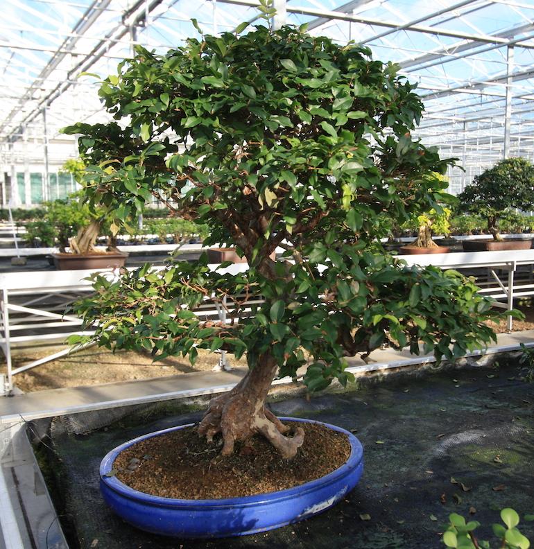 Myrciaria cauliflora Jabotica