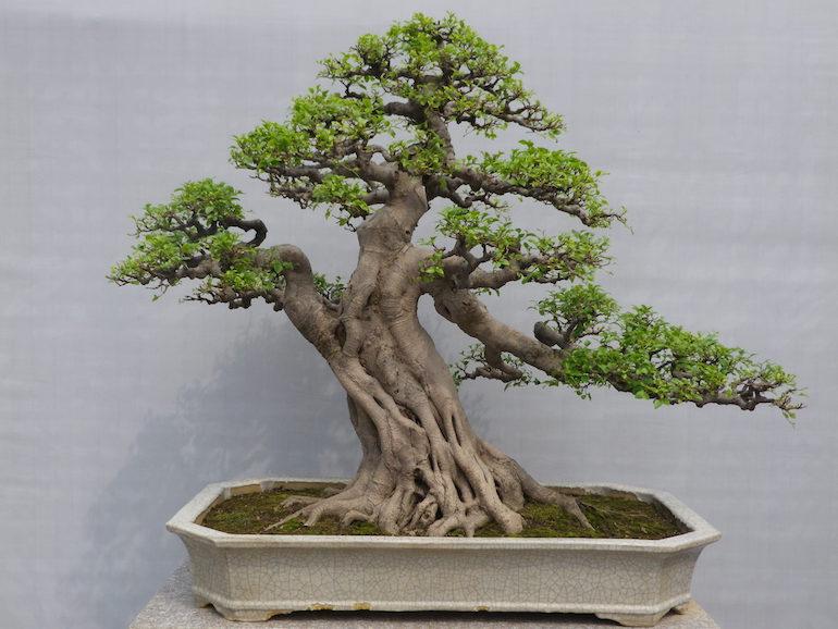 ficus microcarpa swindon district bonsai. Black Bedroom Furniture Sets. Home Design Ideas