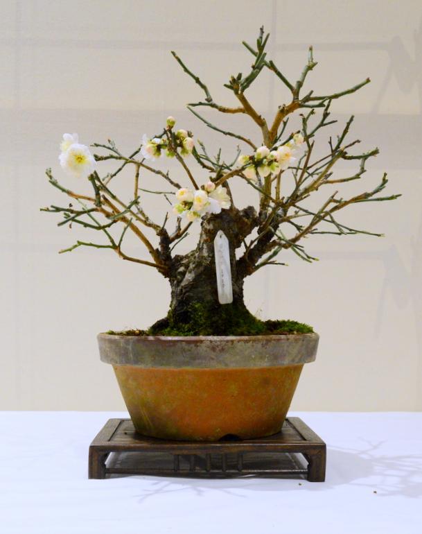 2nd place, AW Prunus mume