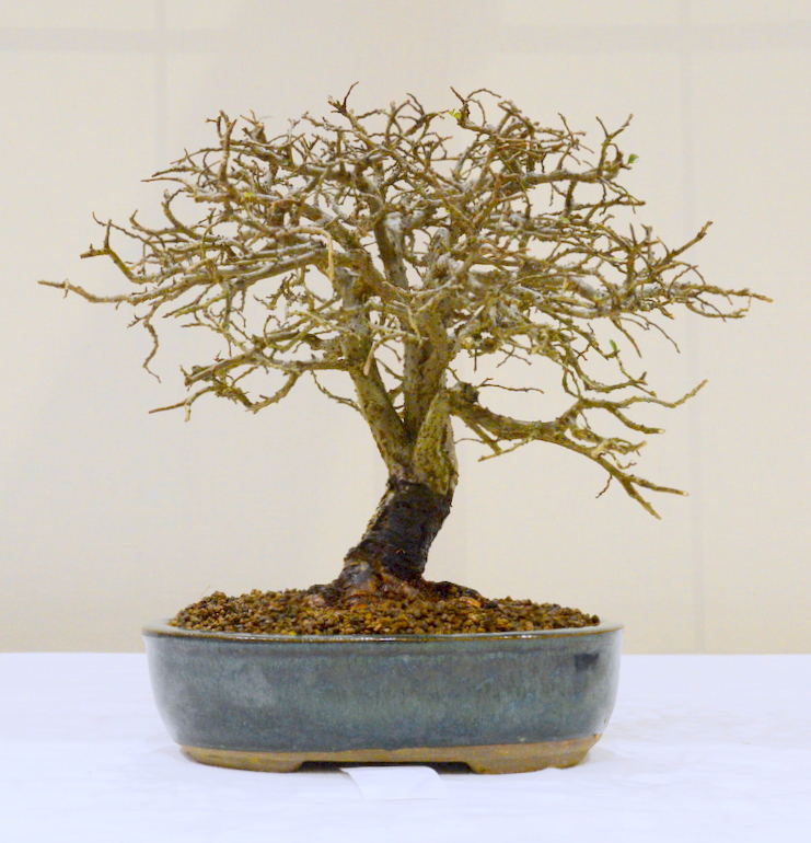 3rd place, PR Chinese Elm