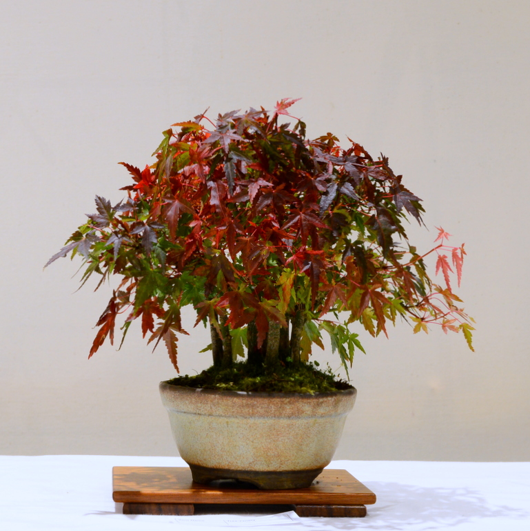 Joint 3rd place, AW Japanese Maple