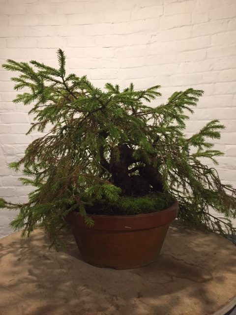 Steve Tolley bonsai demonstration before