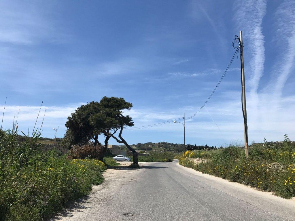 Windswept tree in Malta