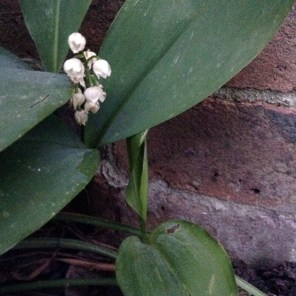 Lily of the valley 1