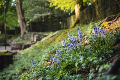 Bluebells on bank