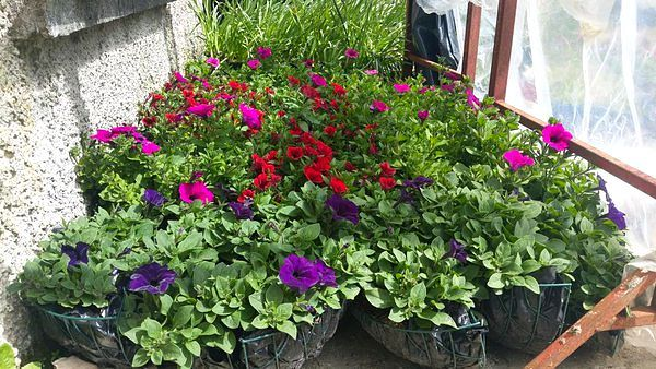 baskets planted