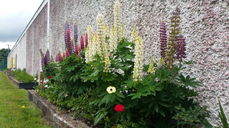 Swinford ESB wall flowerbed-20160611_121925