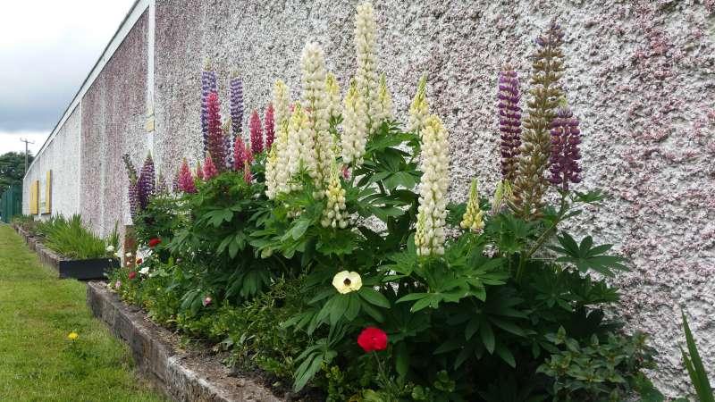 Swinford ESB wall flowerbed-20160611_121925