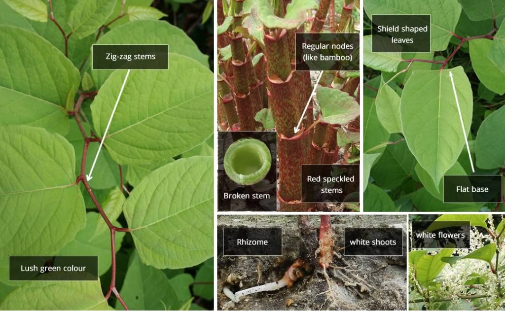 Japanese knotweed plant identification