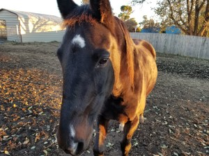 Raven - 17-year-old standardbred mare