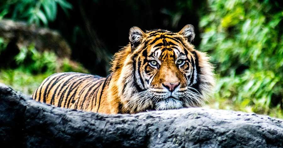 森で出会う虎