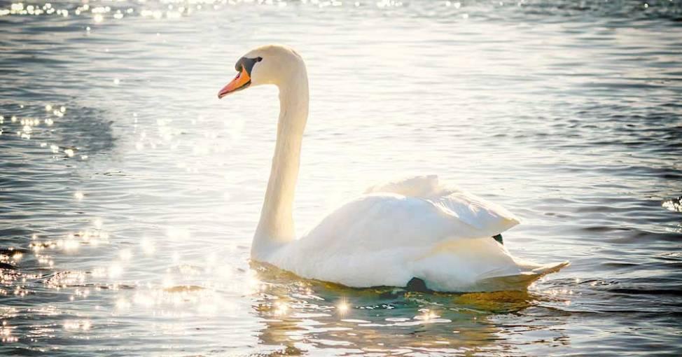 水上にいる白鳥