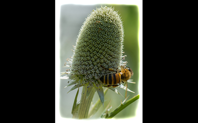 Bob Stokoe - Honeybee On Flower Bob Stokoe