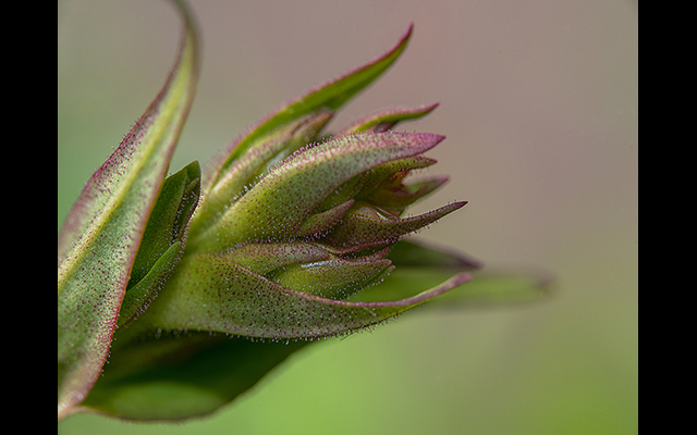 Bob Stokoe - Penstemon Flower Head Bob Stokoe