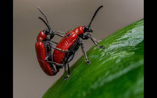 Bob Stokoe - Scarlet Lily Beetles Bob Stokoe