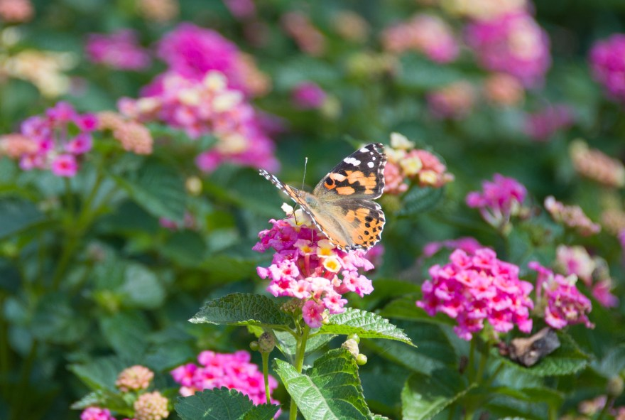 last butterfly of summer 2012